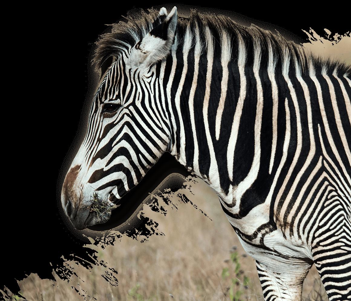 zebra trophy hunting